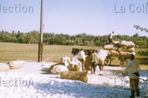 """Ouzbékistan. Société. La Mise En Sac Du Coton Au Kolkhoze """"Staline"""" De Tachkent (Tashkent). 1956. Photographie. Collection Particulière."""
