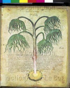 Dioscorides de Vienne. Grande racine de dragon (Arum dracunculus). Vers 512. Miniature. Vienne, Österreichische Nationalbibliothek.
