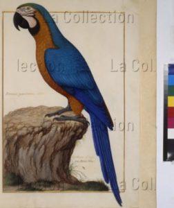 Recueil d'oiseaux de la Ménagerie Royale du Parc de Versailles. Corbeau d'Inde ou Arras bleu (Psittacus cyanocrocaeus Aldr.). 1650 1675. Miniature. Vienne, Österreichische Nationalbibliothek.