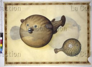 Faune marine en mer Adriatique : poissons ballons ou poissons globes. Vers 1562 1580. Miniature. Vienne, Österreichische Nationalbibliothek.