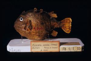 Zoologie. Aracana aurita. Poisson coffre rapporté par l'expédition Nicolas Baudin (1800 1804). Sciences naturelles. Paris. Musée national d'Histoire naturelle.